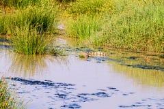 Crocodilo de Nile (niloticus do Crocodylus) fotos de stock