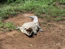 Crocodilo de Nile (niloticus do Crocodylus) Imagem de Stock Royalty Free