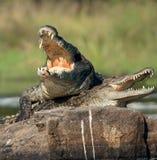 Crocodilo de Nile (niloticus do Crocodylus), acoplando-se, imagem de stock