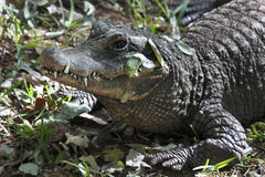 Crocodilo de Nile - Zimbabwe Imagens de Stock Royalty Free