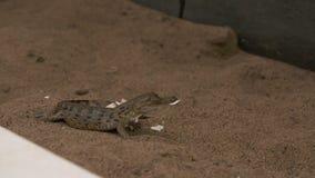 Crocodilo de Orinoco do bebê, parque de Wisirare, Colômbia filme