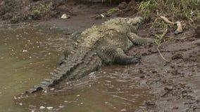 Crocodilo de Orinoco no banco de rio liso, Colômbia filme