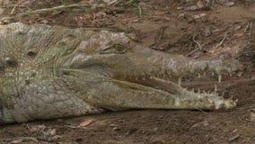 Crocodilo de Orinoco que ataca picando a vara, Colômbia filme