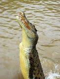 Crocodilo de salto Imagens de Stock Royalty Free