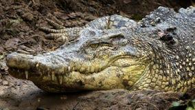 Crocodilo de Sarawak Fotografia de Stock Royalty Free