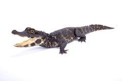 Crocodilo do anão, tetraspis de Osteolaemus Imagens de Stock Royalty Free