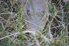 Crocodilo do bebê na grama longa Imagens de Stock