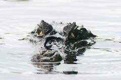 Crocodilo do caimão Fotos de Stock