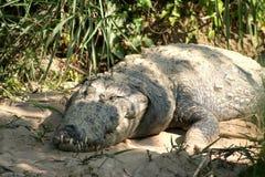 Crocodilo do ladrão Fotos de Stock Royalty Free