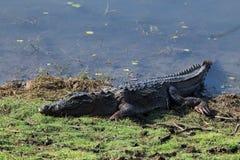 Crocodilo do ladrão Imagens de Stock