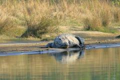 Crocodilo do ladrão no rio do rapti no parque nacional de Chitwan em Nepal foto de stock royalty free