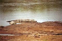 Crocodilo do Nilo, Maasai Mara Game Reserve, Kenya Fotos de Stock Royalty Free