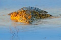 Crocodilo do Nilo, niloticus do Crocodylus, com focinho aberto, no banco de rio, delta de Okavango, Moremi, Botswana Cena dos ani imagens de stock