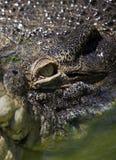 Crocodilo do olho Fotografia de Stock Royalty Free