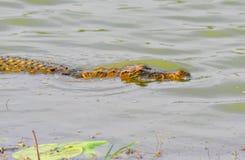 Crocodilo do pântano Foto de Stock