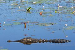 Crocodilo do Saltwater Imagem de Stock