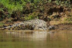 Crocodilo do Saltwater Foto de Stock Royalty Free