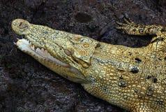 Crocodilo do Saltwater Foto de Stock Royalty Free