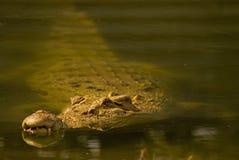 Crocodilo do Saltwater Imagens de Stock Royalty Free