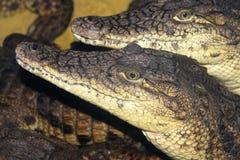 Crocodilo dois Nile. Fotografia de Stock