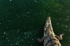 Crocodilo dos animais selvagens na água com espaço da cópia fotos de stock
