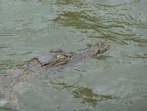 Crocodilo E da água salgada Fotos de Stock