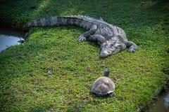 Crocodilo e tartaruga Fotos de Stock