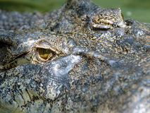 Crocodilo enorme do saltwaer do frame cheio, Tailândia, Ásia Imagem de Stock