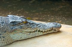 Crocodilo feroz Fotografia de Stock Royalty Free
