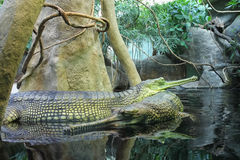 Crocodilo gavial do gangeticus do Gavialis de Gharial foto de stock royalty free