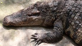 Crocodilo grande vídeos de arquivo