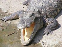 Crocodilo grande Fotos de Stock