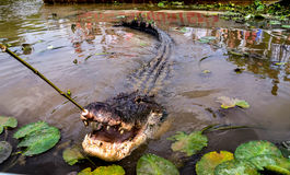 Crocodilo grande que come de uma vara Imagens de Stock