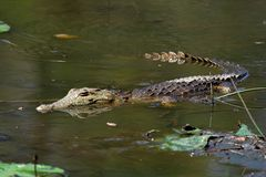 Crocodilo juvenil Fotografia de Stock Royalty Free