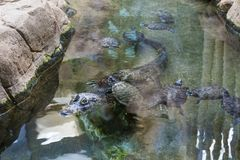 Crocodilo na água fotografia de stock royalty free
