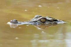 Crocodilo na água Fotos de Stock Royalty Free