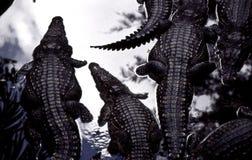 Crocodilo na água Fotos de Stock
