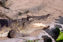 Crocodilo na água Imagem de Stock