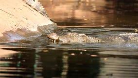 Crocodilo na água video estoque