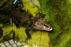 Crocodilo na água Imagem de Stock Royalty Free