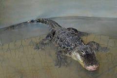 Crocodilo na água tankscrocodile em wacrocodile nos tanques de água sem os tanques do fencingter sem cercar 2 imagens de stock royalty free