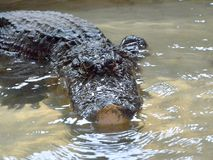 Crocodilo na água tankscrocodile nos tanques de água sem cercar imagem de stock royalty free