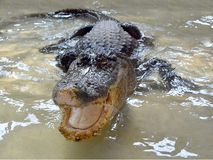 Crocodilo na água tankscrocodile nos tanques de água sem cercar 4 fotos de stock