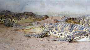 Crocodilo na gaiola Imagem de Stock