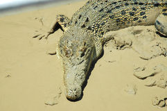 Crocodilo na lama. Imagem de Stock