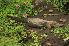 Crocodilo na lama Fotografia de Stock