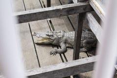 Crocodilo na seiva de Tonle imagens de stock