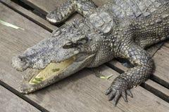 Crocodilo na seiva de Tonle fotos de stock