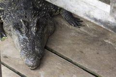 Crocodilo na seiva de Tonle foto de stock