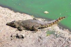 Crocodilo no banco de rio Fotos de Stock